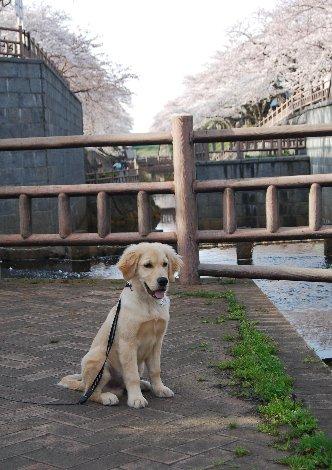 DSC_0128おっとタロと桜と柵