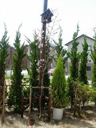 DSCN5481庭の桜