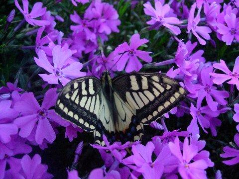 DSCN6923生まれたての蝶