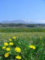 浅間山とたんぽぽ