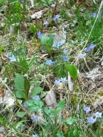 フデリンドウ咲く野原