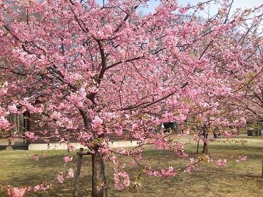 200406代々木公園桜