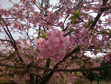 200406代々木公園桜アップ