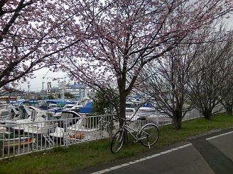 200420芝サイ桜クロスバイク