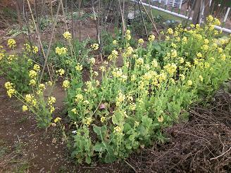 200420芝サイ菜の花