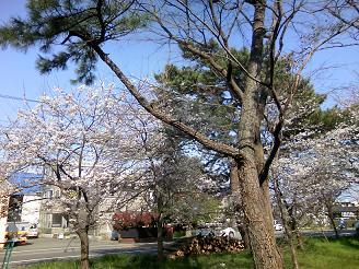 200507千本松桜