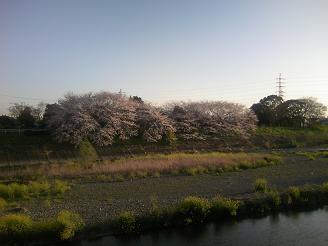 200507焼津桜