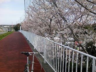 200524御前崎坂道桜