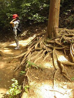 高尾山 木の根