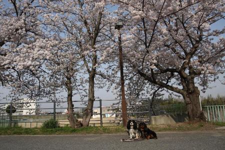 てんココ桜に知