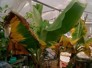 banana213 2