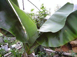 banana0421 1