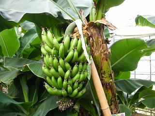 bananaen0704 1