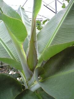 banana0629.jpg