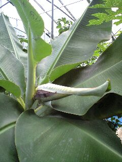 banana0701.jpg