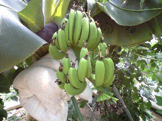 banana0801.jpg