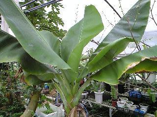 banana2gou0413.jpg