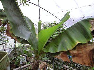 banana3gou0413.jpg