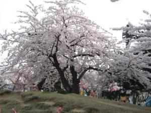 IMG_2145_convert_20080424171754合浦公園桜