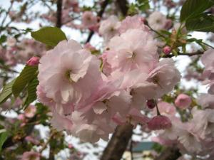 IMG_2168_convert_20080526153403八重桜ちゃん