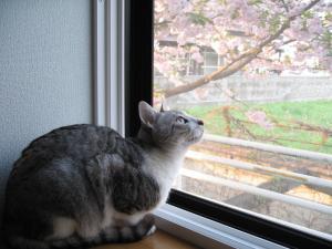 IMG_2177_convert_20080526153637トロ&八重桜