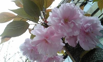 080413_八重桜
