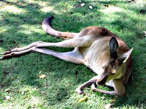 kangaloo2.jpg