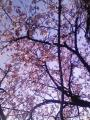公園の早咲桜