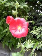 野川のお花