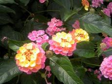 辻堂ハーブのお花