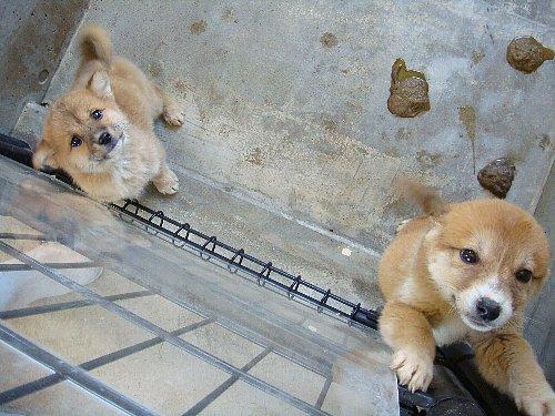 064子犬2ヶ月未満