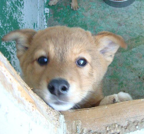 052-茶子犬