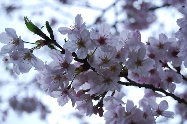 0804桜