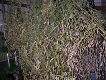 種取り用大根