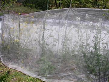 種取り蕪と大根