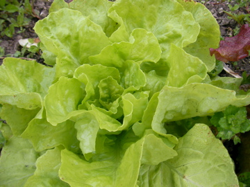 サラダ菜2