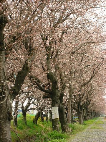 加納排水路の桜並木