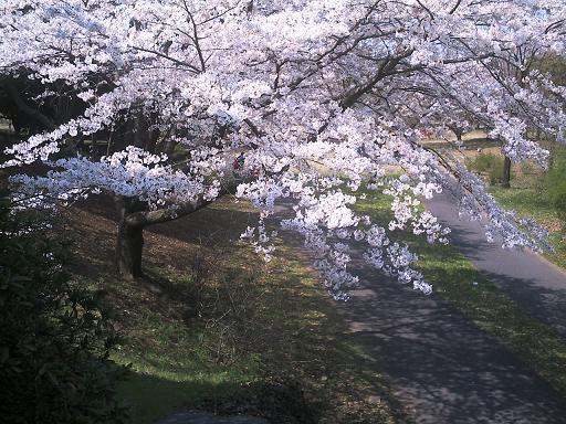 桜に魅せらる