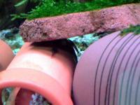 20080506/ミニブッシー 稚魚01