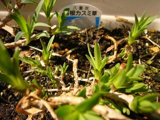 かすみ草の芽もぐんぐん