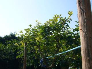 柿の枝も切って整理