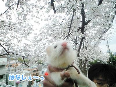 ゆうちゃんと桜の2ショット☆