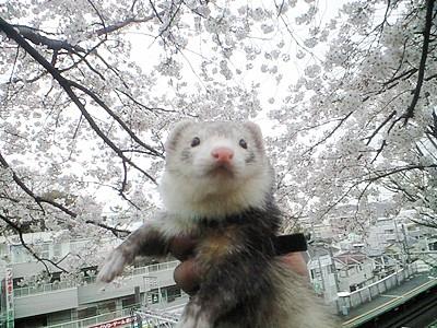 かいとと桜の2ショット☆