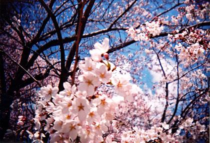 皇居本丸の桜