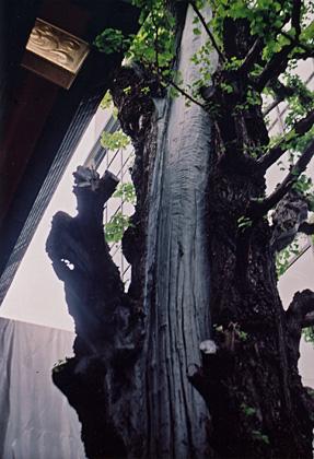 神田明神の老木
