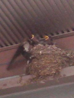親鳥が来ると口を大きく開ける小鳥たち
