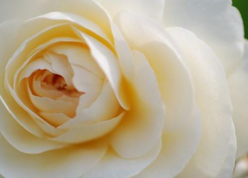 AW rose
