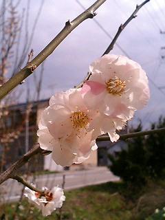 sakura9803-02.jpg