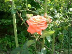 アンネのバラ