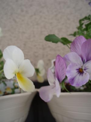 こぼれ咲きビオラ フィオリーナ ふじ & たまご